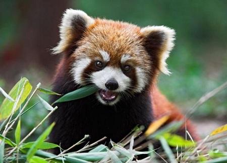 панда злится