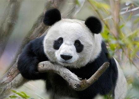 панда с веткой