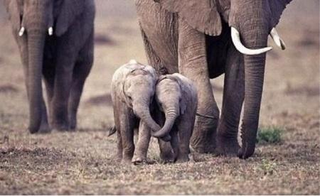 слоны со слонятами