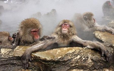 обезьяны в горячем источнике
