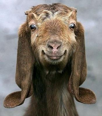 портрет козы в полной красе