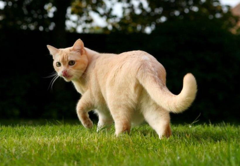 Самые редкие породы кошек.