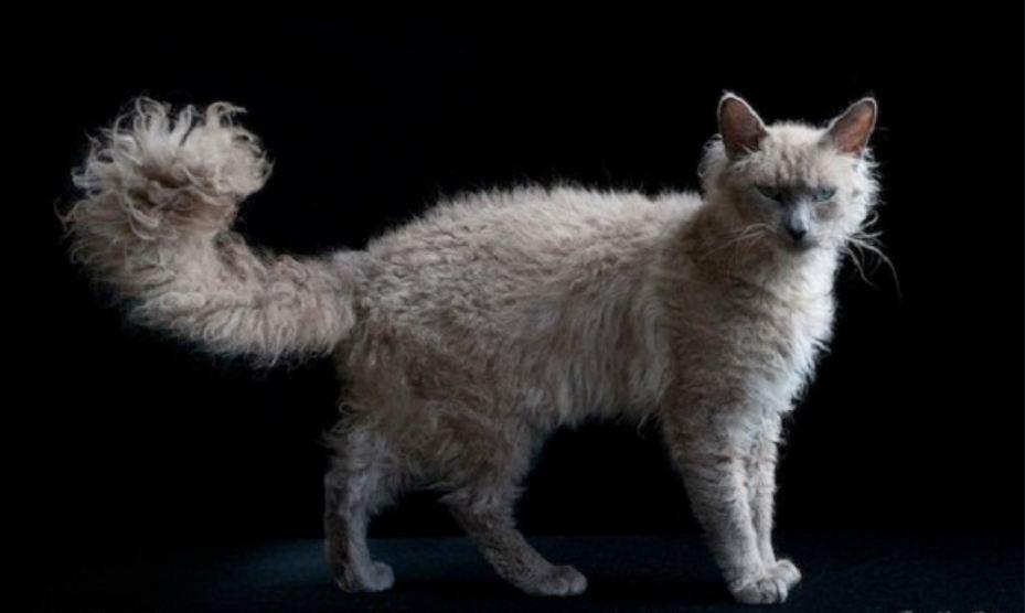 Самые редкие и дорогие породы кошек.