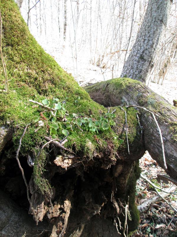 весенний-лес-мох-7