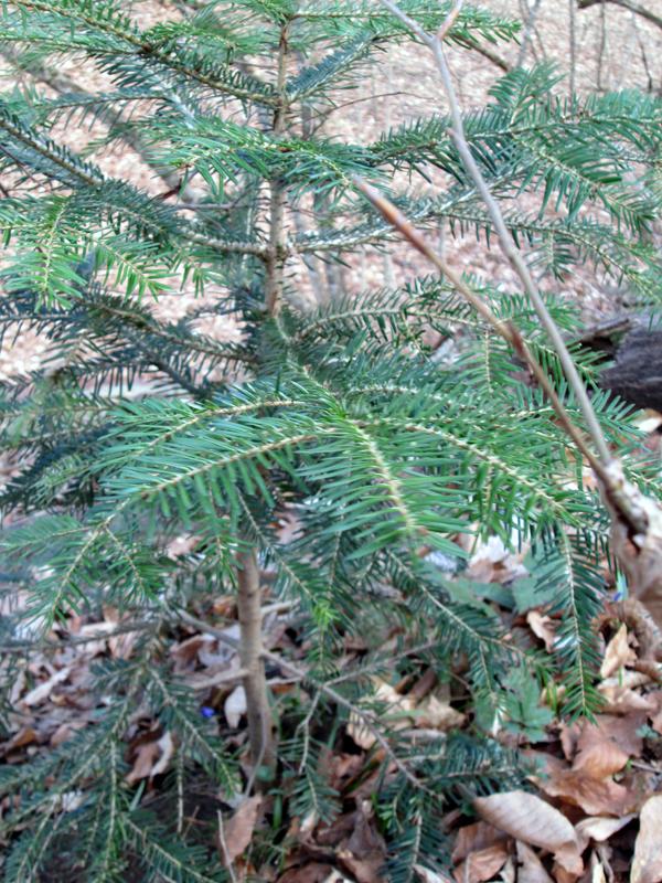 весенний-лес-ёлочка