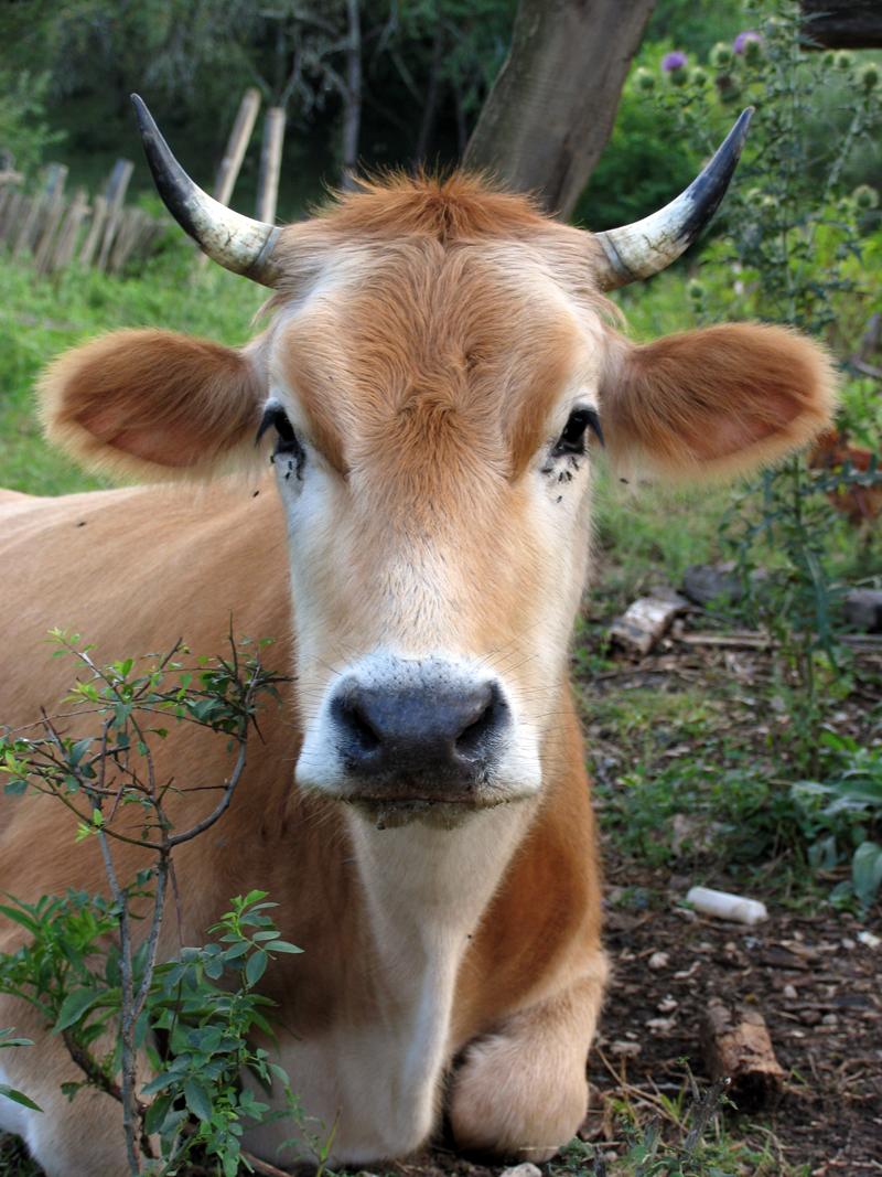 весна корова
