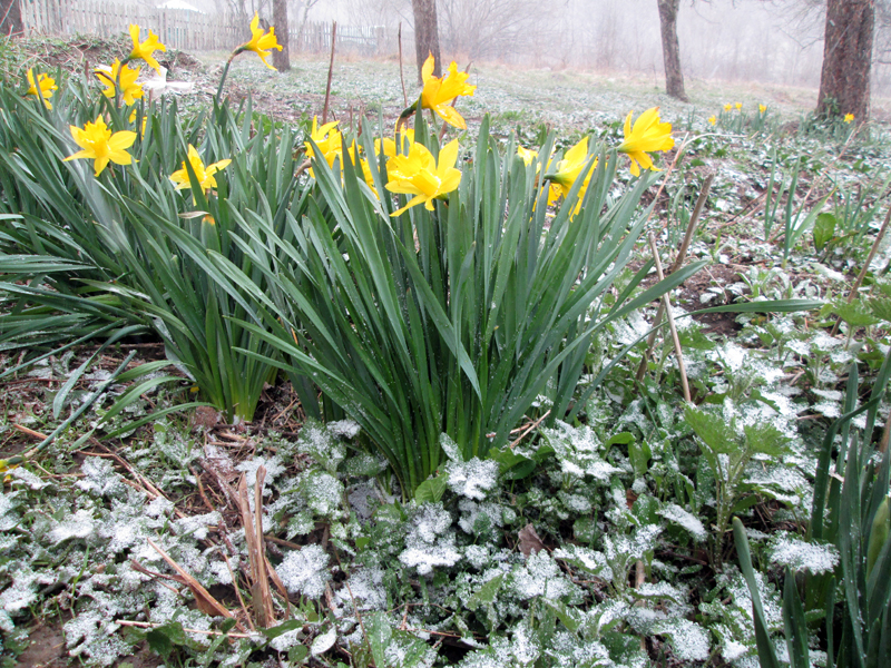 нарциссы в снегу 10