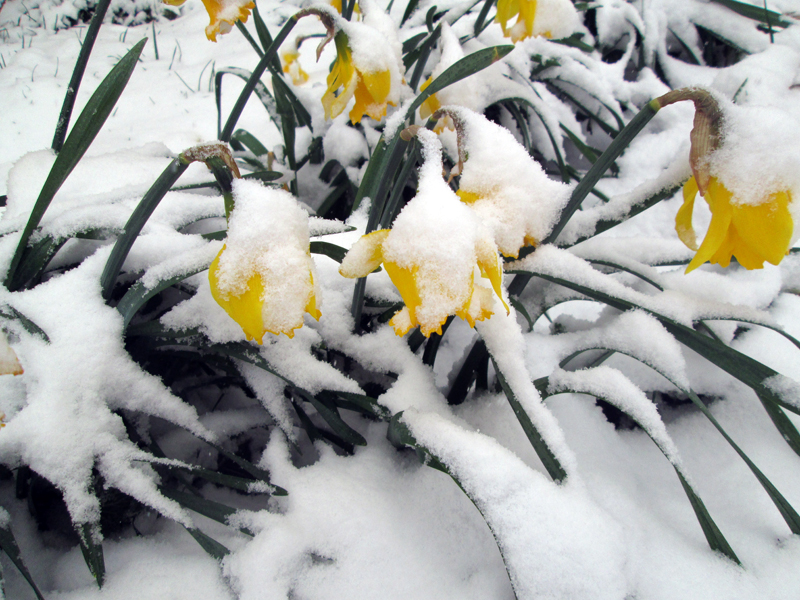 нарциссы в снегу 9