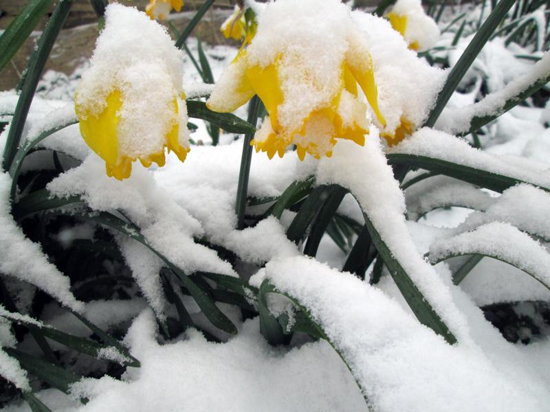 нарциссы в снегу 6