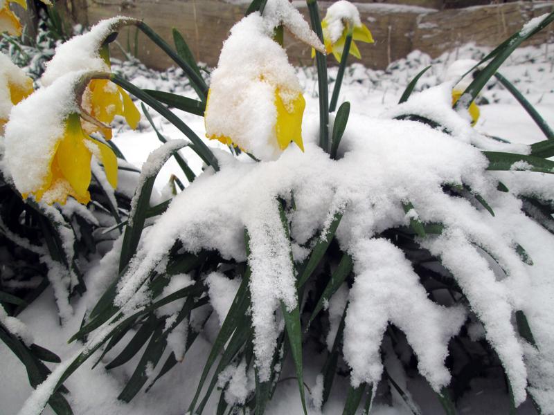 нарциссы в снегу 7