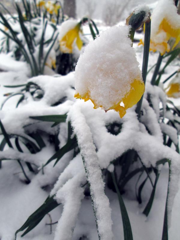 Марток — надевай сто порток. Нарциссы в снегу.