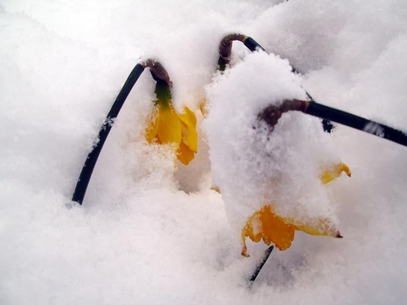 нарциссы в снегу 2